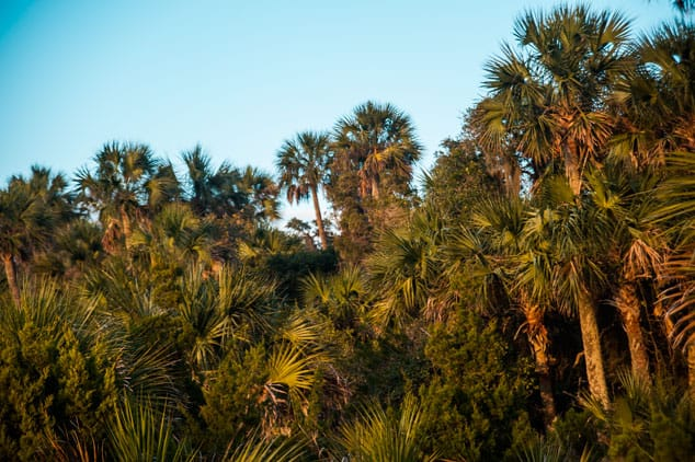 The vegetation is dense and lush but oaks and sabal palms dominate the landscape