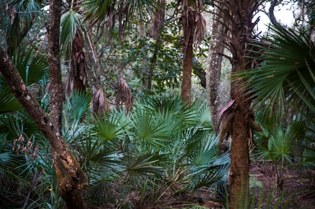 Sabal palm undergrowth under a live oak canopy