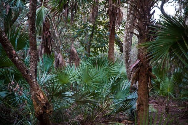 Sabal palm undergrowth under a live oak canopy