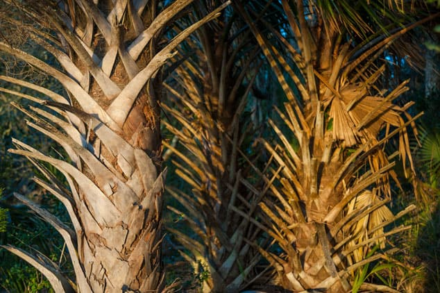 These palm trunks remind me of the backbone of some great beast